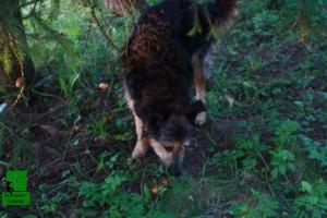 Pies na grzyby, wyniuchał
